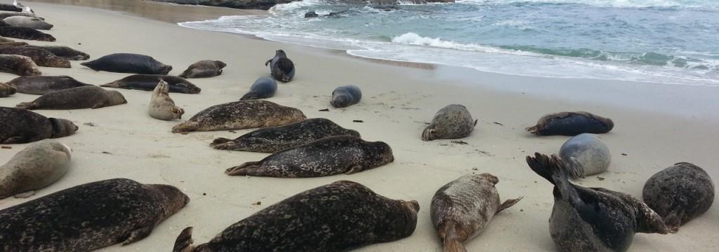 Sono centinaia i leoni marini spiaggiati sulle coste della California. La causa della moria non è chiara.